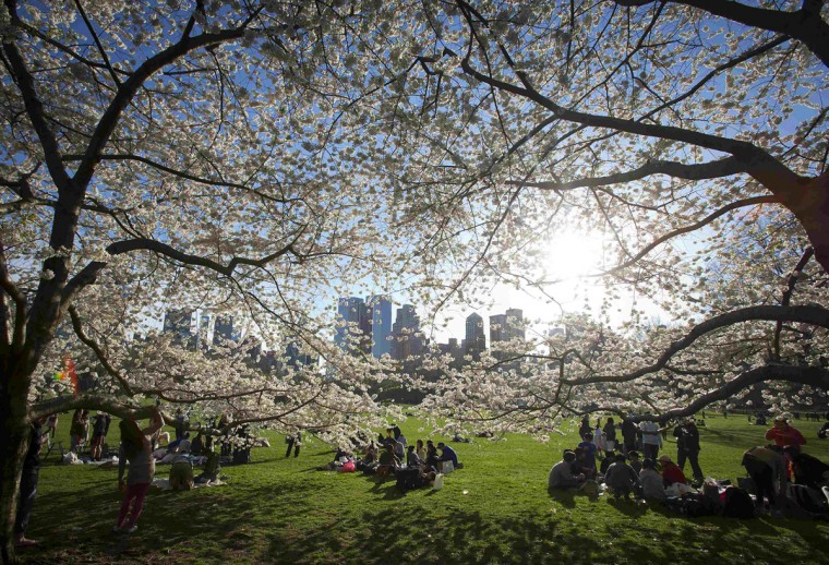 People gather near cherry trees in full blossom in Central Park in New York April 20, 2014. (Carlo Allegri/Reuters)