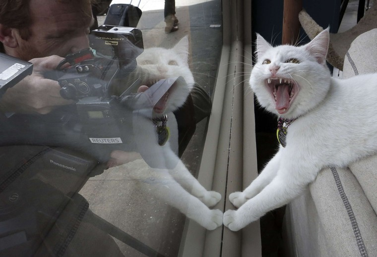 A TV cameraman films a cat at the cat cafe in New York April 23, 2014. The cat cafe is a pop-up promotional cafe that features cats and beverages in the Bowery section of Manhattan. Picture taken April 23, 2014. (REUTERS/Carlo Allegri)