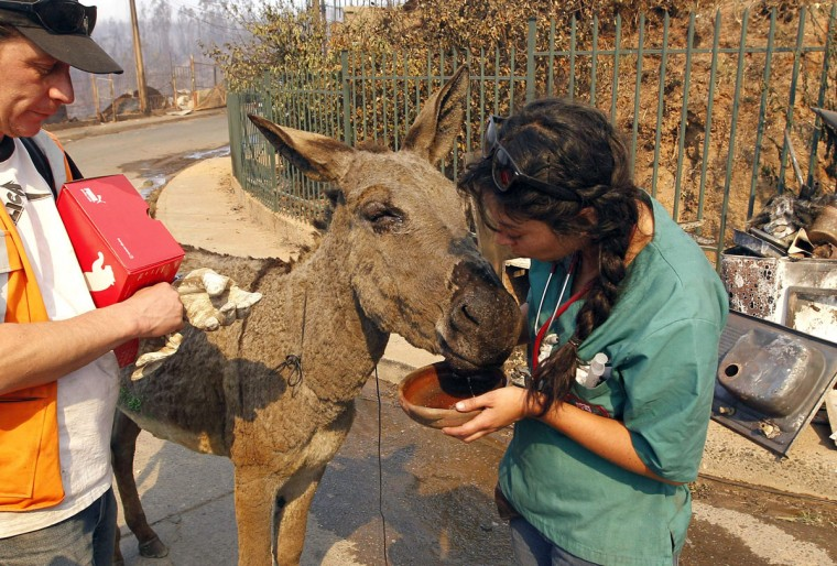 A volunteer gives a donkey water at the location where a forest fire burned several neighborhoods in the hills in Valparaiso. (REUTERS/Eliseo Fernandez)