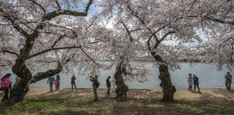 Visitors stroll amongst cherry blossoms at peak bloom around the Tidal Basin April 11, 2014 in Washington. (Bill O'Leary/Washington Post)