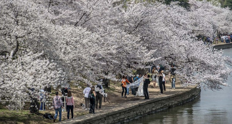 Cherry blossoms at peak bloom form a canopy for visitors, including a bride and groom, around the Tidal Basin on April 11, 2014 in Washington.(Bill O'Leary/Washington Post)