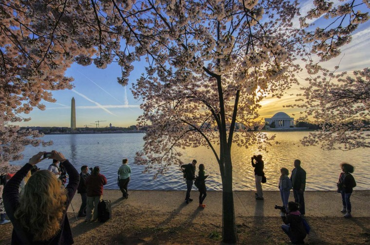 Cherry blossoms at peak bloom around the Tidal Basin on Saturday morning in Washington. (Bill O'Leary/Washington Post)