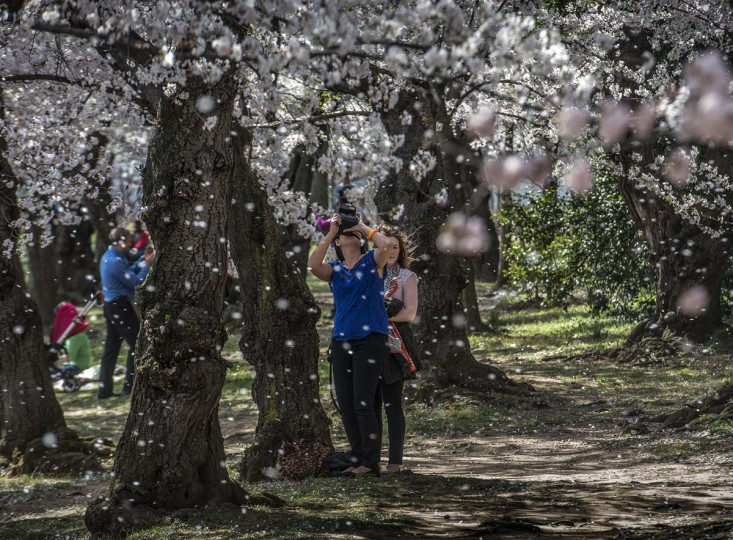 A gust of wind sends cherry blossoms into the air at the Tidal Basin on April, 11, 2014 in Washington. (Bill O'Leary/Washington Post)