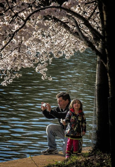 James Murray and daughter Isobel, 4, of Springfield, Va., enjoy cherry blossoms at peak bloom early Saturday morning at the Tidal Basin in Washington. (Bill O'Leary/Washington Post)