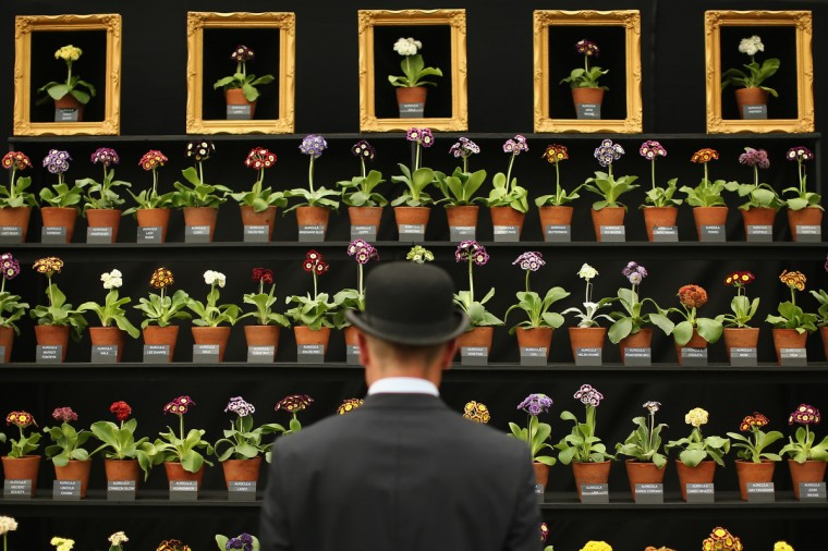 An exhibitor looks at Auricula plants on display in the Great Pavilion at the 2014 Chelsea Flower Show at Royal Hospital Chelsea on May 19, 2014 in London, England. The prestigious gardening show opens to the general public on May 20, 2014, and features hundreds of stands and exhibition gardens.(Dan Kitwood/Getty Images)