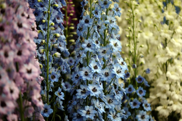 Delphinium are displayed on a stand at the 2014 Chelsea Flower Show at Royal Hospital Chelsea on May 19, 2014 in London, England. The prestigious gardening show opens to the general public on May 20, 2014, and features hundreds of stands and exhibition gardens. (Dan Kitwood/Getty Images)