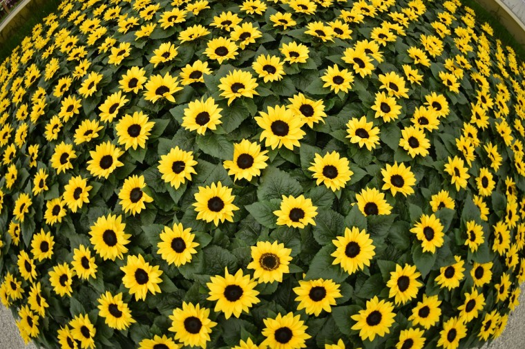 A patch of sunflowers are displayed at the Chelsea Flower Show in west London, on May 19, 2014. The Chelsea flower show, held annually in the grounds of the Royal Hospital Chelsea, will run this year from May 20-24. (Leon Neal/Getty Images)