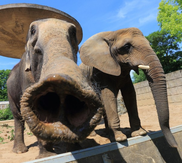 Elephants are pictured in their outdoor enclosure at the zoo in Magdeburg. (Jens Wolf/Getty Images)