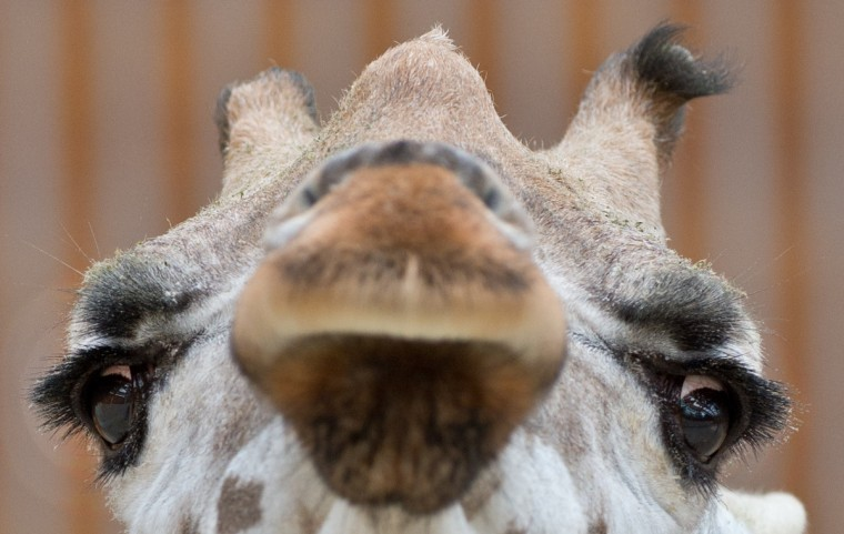 "Giraffe ""Maud"" looks on in the zoo in Kronsberg am Taunus, central Germany. (Boris Roessler/Getty Images)"