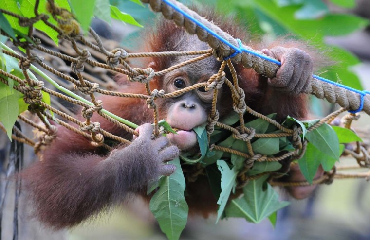 Rizki, 10 months orphaned Bornean orang utan starts learning to bite and eating leaves at Surabaya Zoo as he prepares to be released into the wild on May 19, 2014 in Surabaya, Indonesia. The two baby orangutans, brothers, were found in Kutai National Park in a critical condition having been abandoned by their mother on May 14, 2014. The Centre for Orangutan Protection (COP) have since been nursing the animals back to health, treating them for malnourishment and 16 wounds predominantly to the feet and hands. (Robertus Pudyanto/Getty Images)