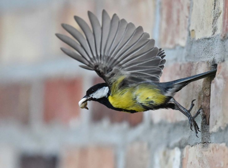 A great tit carries the excrement of its offspring out of a hole in the wall on May 8 in Petersdorf, eastern Germany.            CREDIT: PATRICK PLEUL/AFP/Getty Images