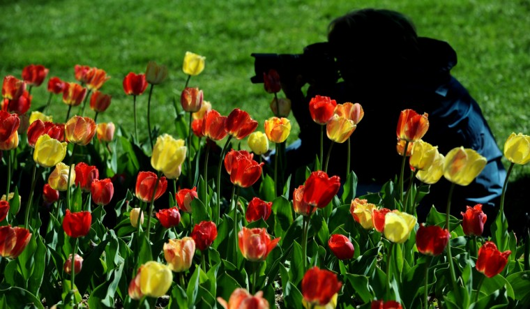 JoAnn Miller, of Odenton, photographs Fringed Rhapsody tulips in Sherwood gardens, The last week in April is typically when the tulip beds at Sherwood Gardens are in full bloom. (Kim Hairston/Baltimore Sun)
