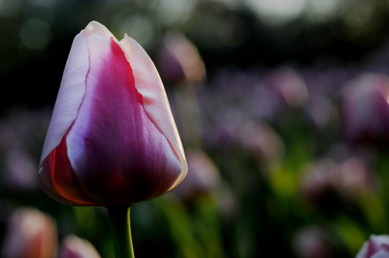 The last week in April is typically when the tulip beds at Sherwood Gardens are in full bloom. The public retreat, a tract once owned by A. S. Abell, founder of The Baltimore Sun, was the creation of John Sherwood in the 1920s. (Kim Hairston/Baltimore Sun)