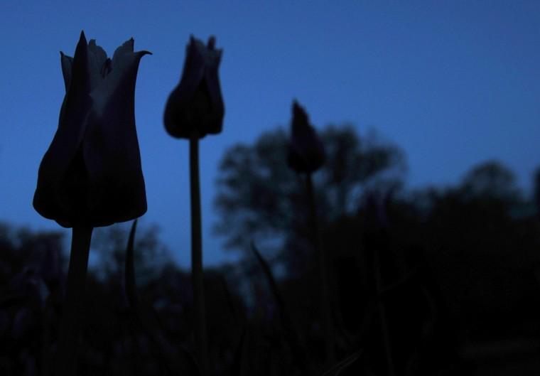 Tulips against a darkening sky in Sherwood Gardens. (Kim Hairston/Baltimore Sun)