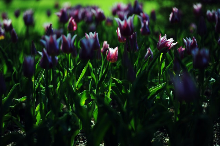 Tulips in Sherwood Gardens. (Kim Hairston/Baltimore Sun)