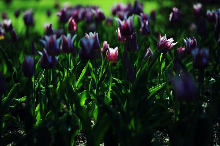 Tulips in Sherwood Gardens. (Kim Hairston/Baltimore Sun)