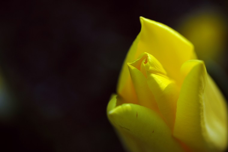A tulip in Sherwood Gardens. (Kim Hairston/Baltimore Sun)
