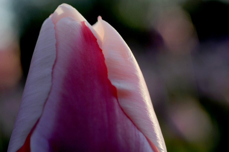 A K73 tulip in Sherwood Gardens. (Kim Hairston/Baltimore Sun)