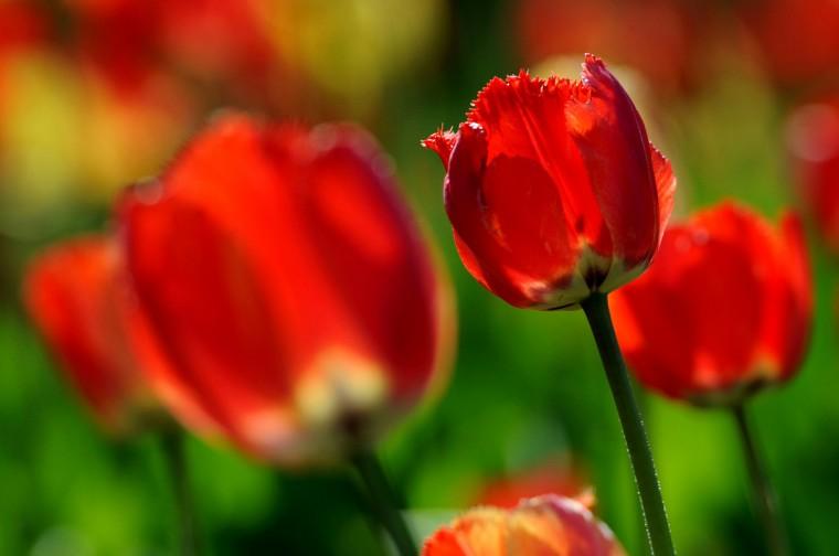 Fringed Rhapsody tulips in Sherwood gardens. (Kim Hairston/Baltimore Sun)