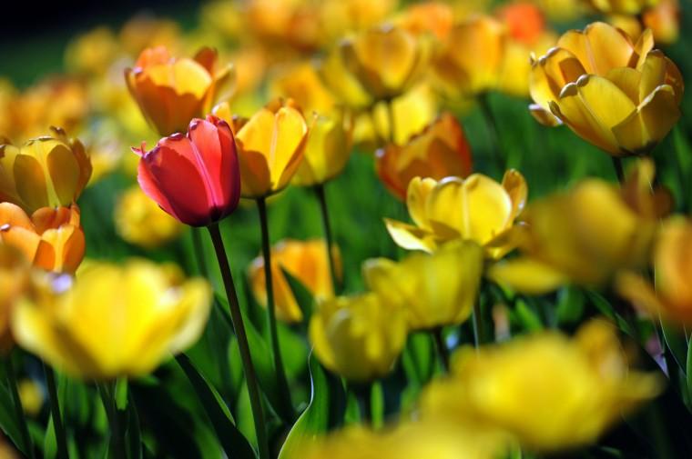 Morning light illuminates the translucent tulip petals in Sherwood Gardens. (Kim Hairston/Baltimore Sun)