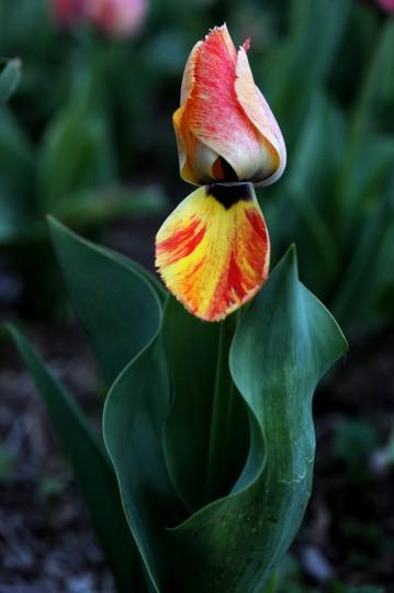 Tulip in Sherwood Gardens. (Kim Hairston/Baltimore Sun)