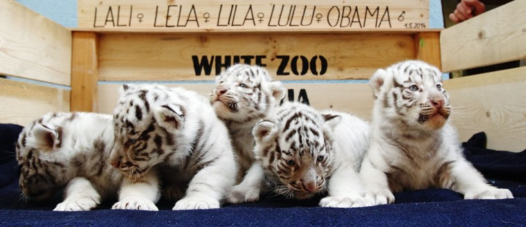 A litter of white Bengal tiger cubs is pictured at the White Zoo in Kernhof May 26, 2014. The five cubs were born on Sunday at the private zoo in Lower Austria, two years after their mother gave birth to four cubs in 2012. (REUTERS/Heinz-Peter Bader)
