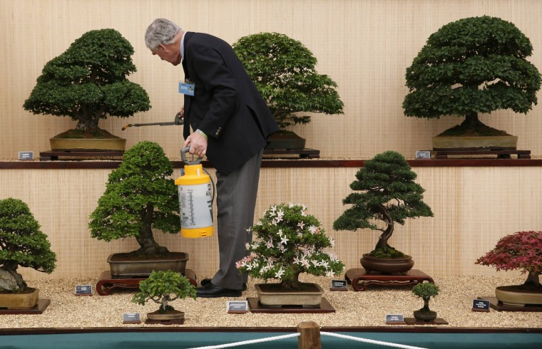 A man tends Bonsai trees during media day at the Chelsea Flower Show in London May 19, 2014. (Stefan Wermuth/Reuters)