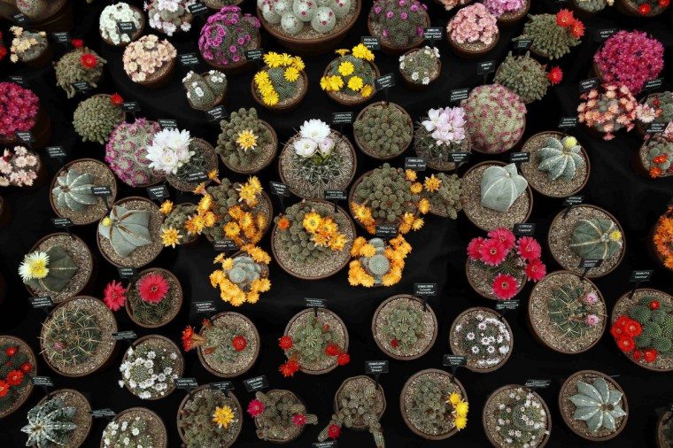 Cactus plants are seen during media day at the Chelsea Flower Show in London May 19, 2014. (Stefan Wermuth/Reuters)