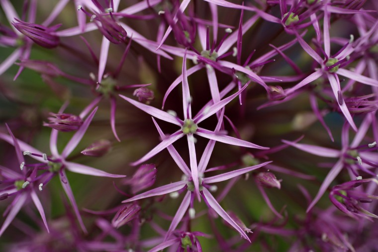 Allium 'Purple Rain' plants are seen during media day at the Chelsea Flower Show in London May 19, 2014. (Stefan Wermuth/Reuters)