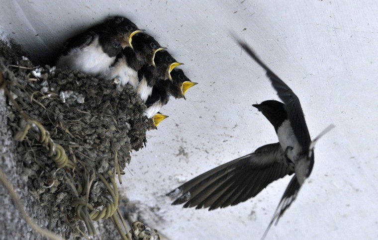 A swallow feeds her babies in their nest under the ceiling of a residential house in Dongfeng township of Guiyang, Guizhou province. (Reuters)