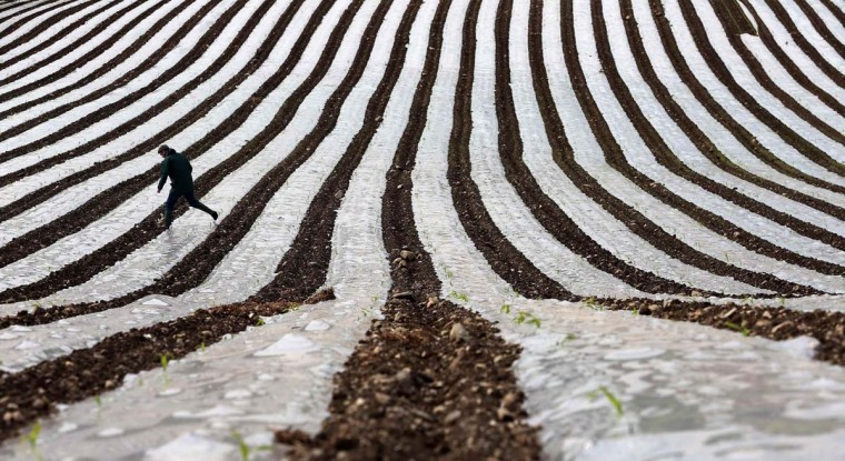 A man walks through a field of maize, planted under a film of biodegradable plastic which raises the soil temperature at the start of the season, near the city of Londonderry May 19, 2014. (Cathal McNaughton/Reuters)