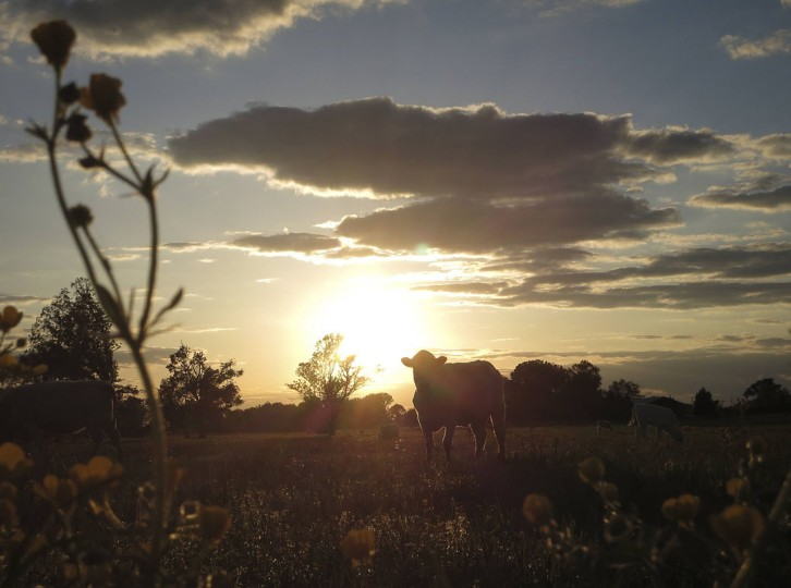 Cows graze in a field at sunset in Vilonia, Arkansas on April 30, 2014. Picture taken April 30, 2014. (REUTERS/Carlo Allegri)