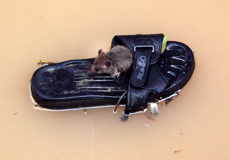 A rat floats on a slipper on a flooded street in Fuzhou, east China's Fujian province, on October 3, 2005. Typhoon Longwang brought heavy rain to Fuzhou and the flood submerged many low-lying areas. (Reuters photo)