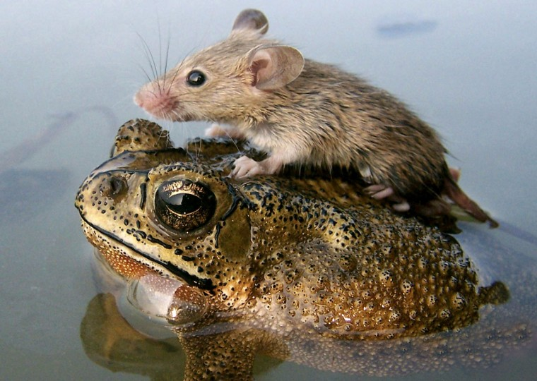 A mouse rides on the back of a frog in floodwaters in the northern Indian city of Lucknow on June 30, 2006. (REUTERS/Pawan Kumar)