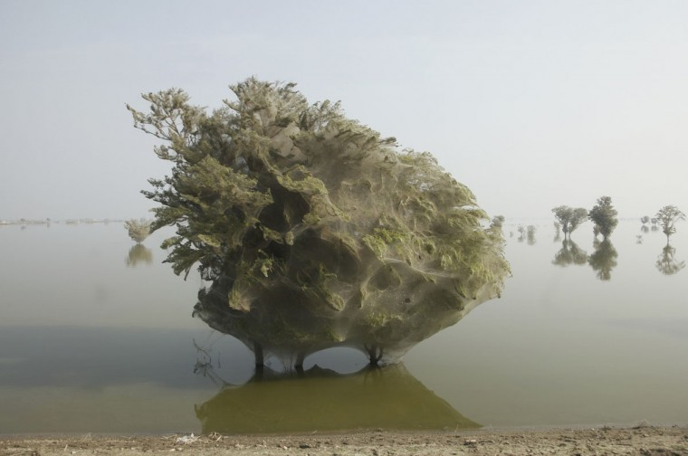 Trees covered in spider webs are seen in the flood affected areas of K.N. Shah, located near Dadu in Pakistan's Sindh province, on December 7, 2010. (Reuters photo)
