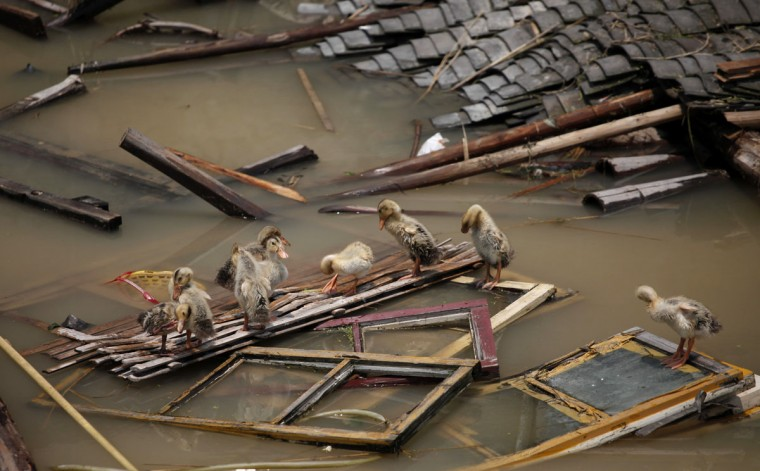 Ducks are seen on top of pieces of wood from a house damaged by the floods in Sanjiangkou village, Zhejiang province on June 18, 2011. (REUTERS/Carlos Barria)