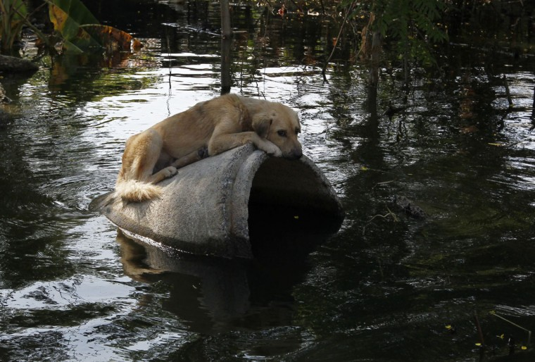An abandoned dog sits on a concrete pipe at a flooded area in Bangkok on November 16, 2011. (REUTERS/Sukree Sukplang)