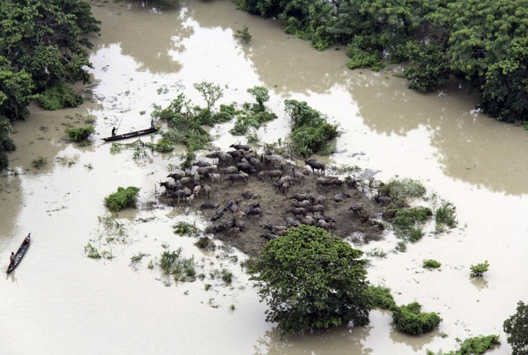 People row boats past an islet on which buffaloes have been stranded in a flooded area of the Sonitpur district in the northeastern Indian state of Assam on July 1, 2012. Incessant heavy rains in northeast India have caused massive flooding and landslides, killing more than 60 people. (Reuters photo)