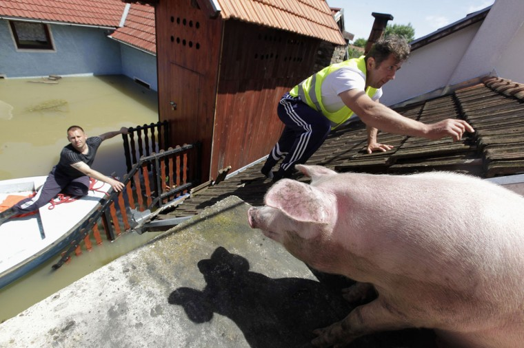 A man climbs on the roof of a house to feed pigs they rescued during heavy floods in the village of Vojskova, on May 19, 2014. Communities in Serbia and Bosnia battled to protect towns and power plants on Monday from rising flood waters and landslides that have devastated swathes of both countries and killed dozens of people. (REUTERS/Srdjan Zivulovic)
