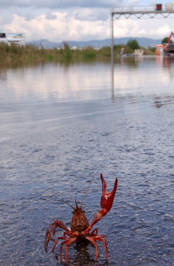 A crayfish appears on a flooded highway near the Spanish northeastern city of Castelldefels on October 10, 2002. Heavy rains hit the Catalan region during the last two days, causing floods, damages and traffic problems but no injuries. (REUTERS/Rafa Huertas)