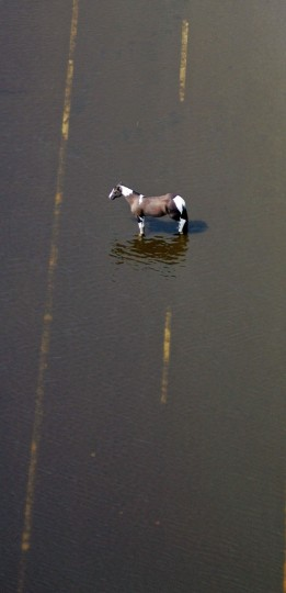 A horse stands in floodwaters from Hurricane Katrina in St. Bernard Parish near New Orleans on September 3, 2005. U.S. President George W. Bush ordered more troops to secure New Orleans on Saturday as rescuers evacuated thousands of desperate refugees and closed two huge shelters plagued by murder, rape and chaos. (REUTERS/David J. Phillip)