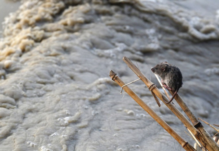 A stranded mouse rests on a stick next to the rising waters of river Yamuna in New Delhi on June 19, 2013. (REUTERS/Anindito Mukherjee)