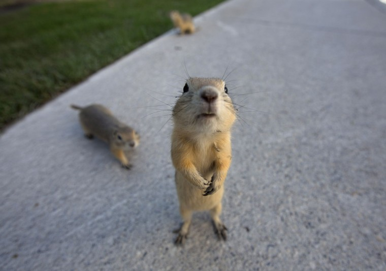 Gophers line the city sidewalks after their homes were flooded in the East Village area of Calgary, Alberta on June 22, 2013. (REUTERS/Todd Korol)