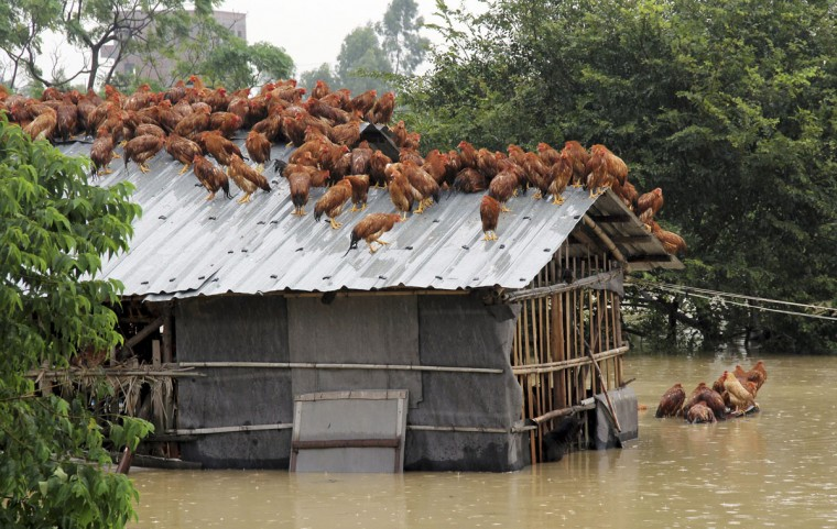 Chickens perch on the roof of a hennery to escape rising floodwaters after Typhoon Utor hit Maoming, Guangzhou province on August 15, 2013. Typhoon Utor hit China's southern Guangdong and Guangxi provinces before easing to a tropical storm. (Reuters photo)