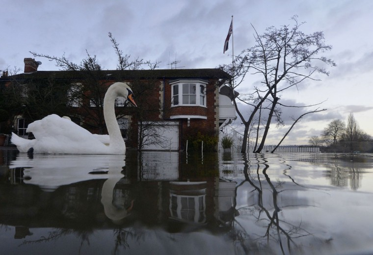 Swans swim near riverside properties partially submerged in floodwaters at Henley-on-Thames in southern England, on January 13, 2014. (REUTERS/Toby Melville)