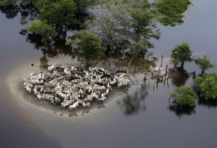 An aerial view shows stranded cattle in the flooded region of Ballivian province in the Beni department on February 8, 2014. Torrential rain and floods in Bolivia have killed 38 people. (REUTERS/David Mercado)