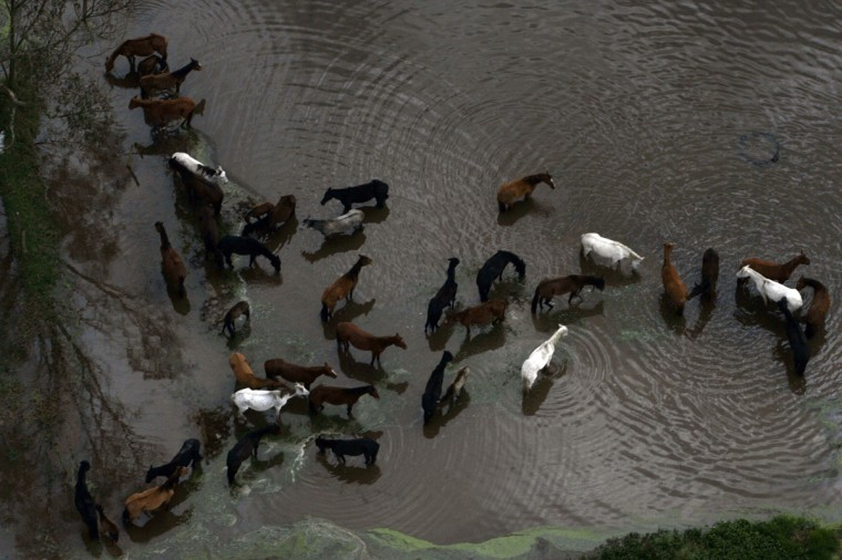 An aerial view shows horses at a flooded area in Bogota on November 19, 2010. Heavy rains around Colombia have killed 136 people and left 1,190,000 people homeless so far this year, authorities said. (REUTERS / Fredy Builes)