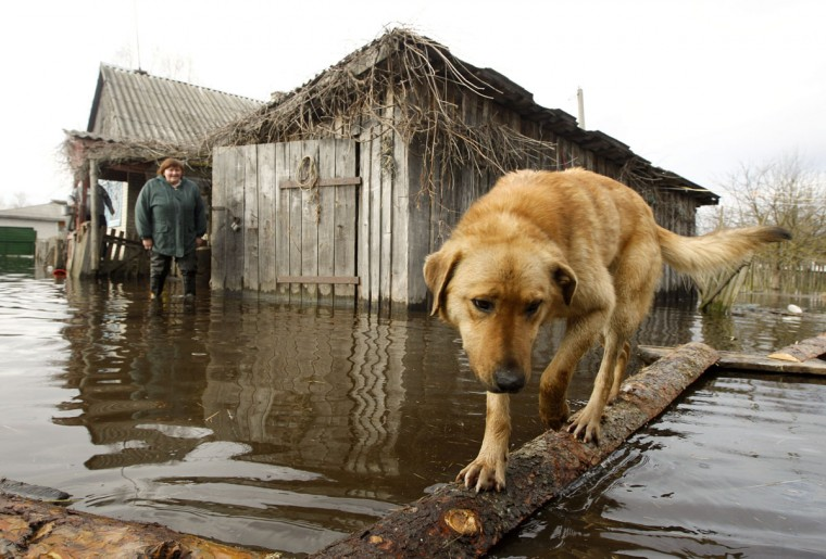 A dog and a woman are seen in a flooded courtyard as water from the Prypyat river overflows its banks during spring flooding in the village of Khlupin, some 168 miles south of Minsk, on April 15, 2013. (REUTERS/Vasily Fedosenko)