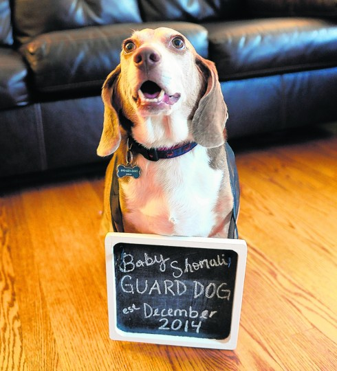 Kathryne and Essam Shomali help their dog Little Joe pose for a photo with a sign making him the guard dog for their baby, who is expected to come in December. Photo taken Thursday, May 22, 2014 in Towson. (Jon Sham/BSMG)