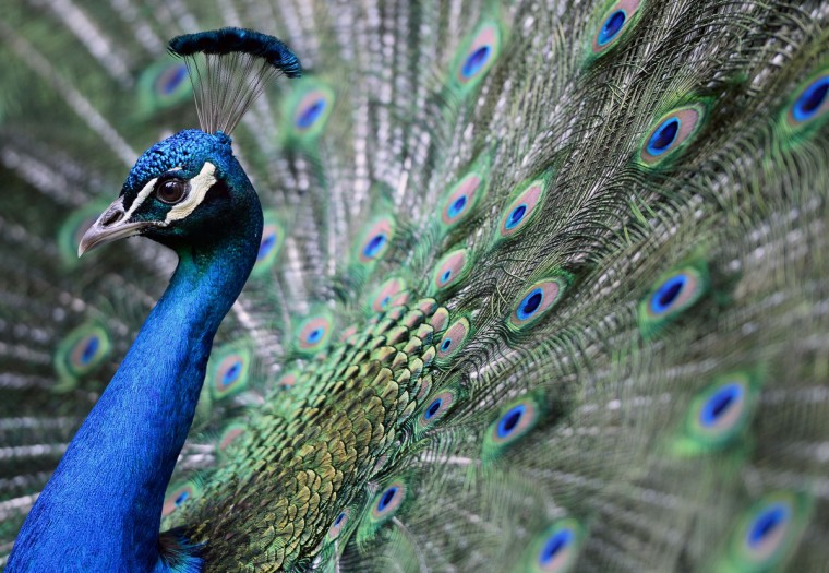 A peacock is flourished on its colors in the 'Magan Zoo Abony', a private zoo of Abony town, about 90 kilometres east of Budapest. (Attila Kisbenedek/Getty Images)